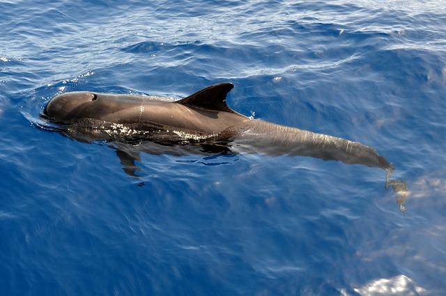 ניו זילנד: כ-145 לוויתנים נסחפו לחוף, חלקם נמצאו מתים והשאר הומתו