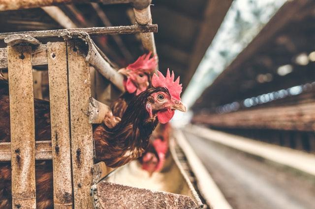 דיון בוועדת החינוך בנושא רווחת המטילות לביצי מאכל