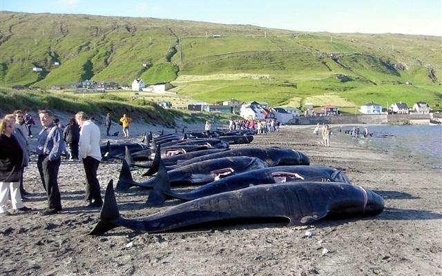 יפן תחדש את הציד המסחרי של לוויתנים