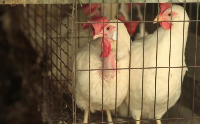תעשיות הביצים והעוף בישראל: קמפיין ענק של עמותת קירות שקופים