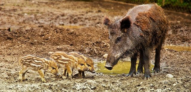 מחנה עופר: ציידים נקראו להרוג חזירי בר