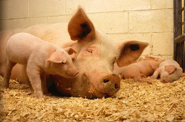 מחלה שתוקפת גורי חזירים בישראל מזה זמן מה - נמשכת