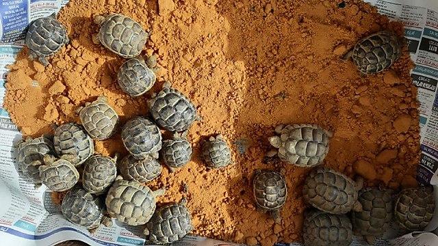 שוחררו יותר ממאה צבים שהוחזקו בניגוד לחוק