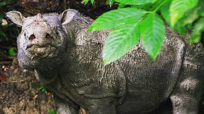 מת קרנף סומטרה הזכר האחרון במלזיה