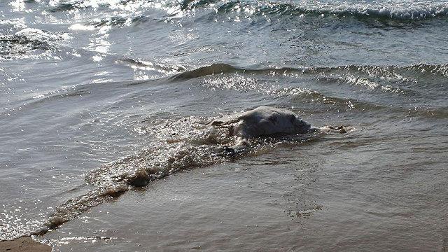 בפעם השנייה תוך 8 ימים: פגר של פרה מהמשלוחים החיים נפלט לחוף בתל אביב