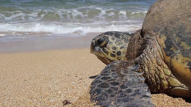 רשות הטבע והגנים: מבצע הצלה של צבי ים בסכנת הכחדה