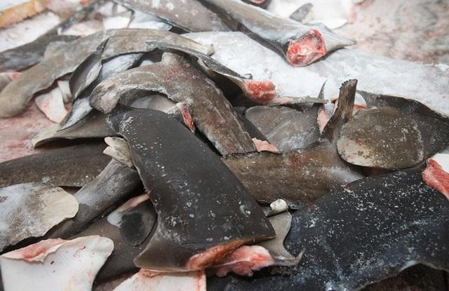 ציד כרישים: תיעוד של פעילי גרינפיס