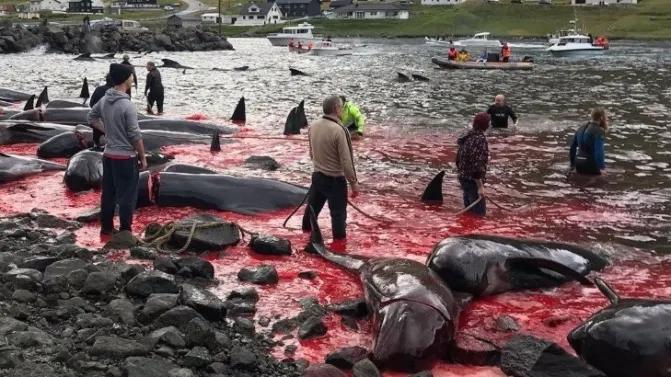 איי פארו: עובר לוויתן הוצא מרחם אימו