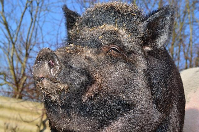 צייד הרג את אביו, חשב שהוא חזיר