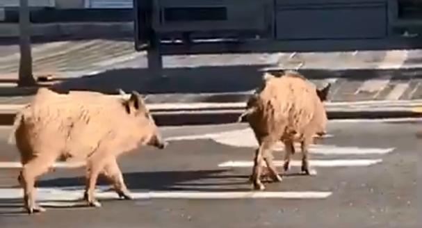 חיפה: חזירי בר משוטטים ברחובות העיר