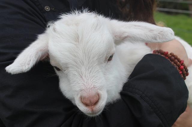 תכנית ריאליטי: לגדל בעל חיים ואז לשחוט אותו