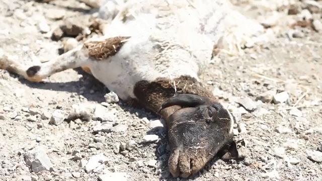 תעשיית חלב הכבשים: חקירה סמויה חדשה של קירות שקופים