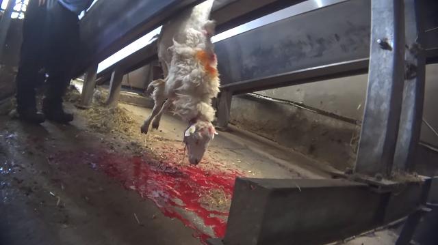 בריטניה: תיעוד סמוי חדש של שחיטת כבשים