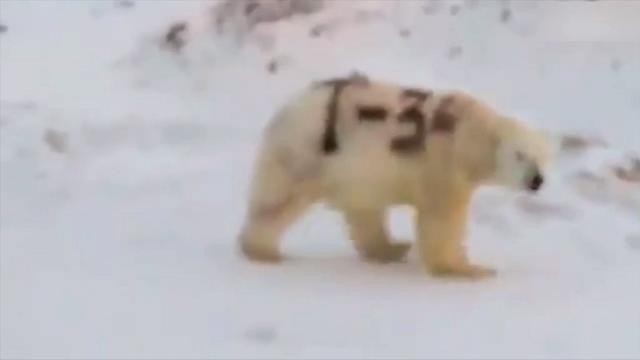 רוסיה: גרפיטי רוסס על דוב קוטב