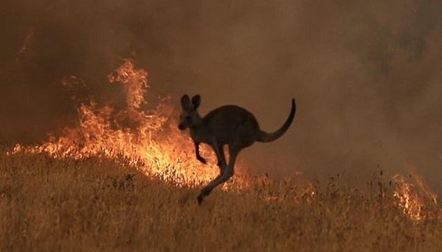 יותר מ-480 מיליון בעלי חיים נהרגו בשריפות באוסטרליה