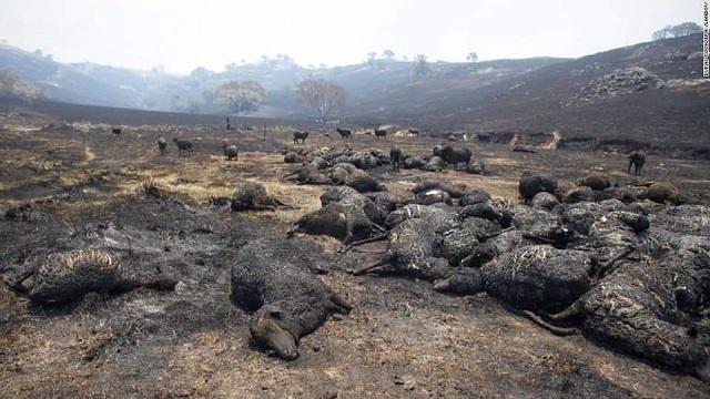 חיות משק שנהרגו בשריפות