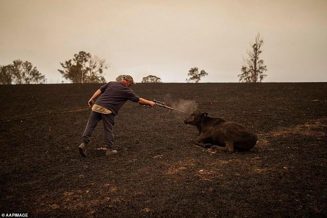 בוקר יורה בפרה שנפגעה בשריפות