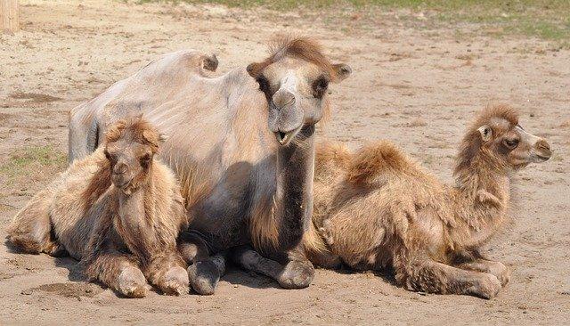 אוסטרליה: יותר מ-10,000 גמלים יוצאו להורג כי הם שותים יותר מדי מים