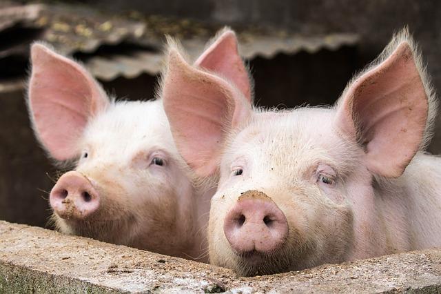 מהפכה: המבורגר חזיר כשר