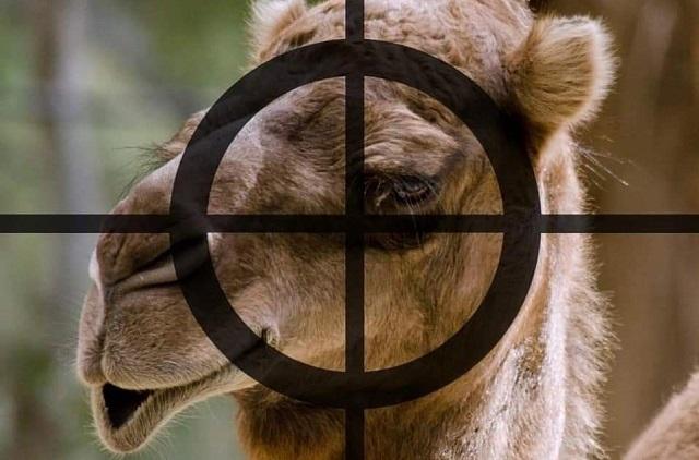 אוסטרליה: גמלים נטבחים בהמוניהם והעולם זועם