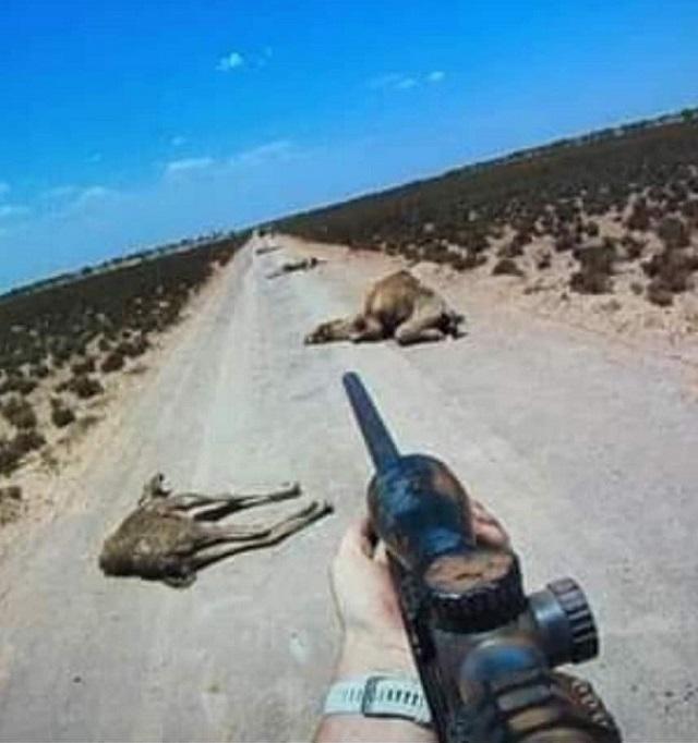 גמלים נטבחים באוסטרליה