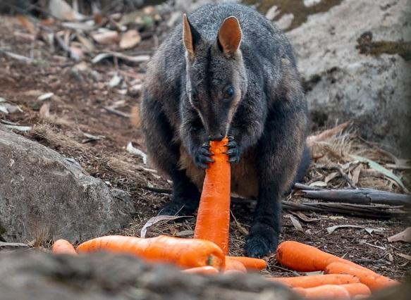 2,000 קילוגרם ירקות פוזרו על מנת להאכיל את בעלי החיים ששרדו את השריפות באוסטרליה
