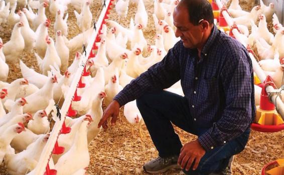 מועצת הלול טבחה ב-670 תרנגולות - כי גודלו ללא היתר