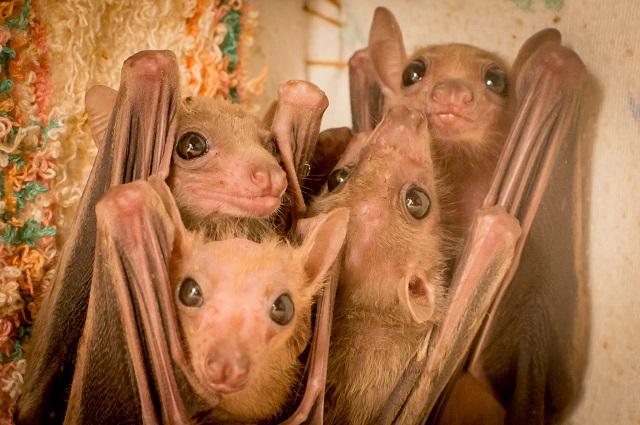 האם נגיף הקורונה מרתיע אנשים מלאכול עטלפים?