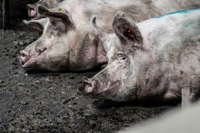 חזירים בצואתם בחזיריית קיבוץ להב