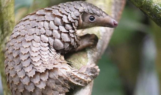 פנגולין - החיה שאולי הדביקה את האדם בקורונה