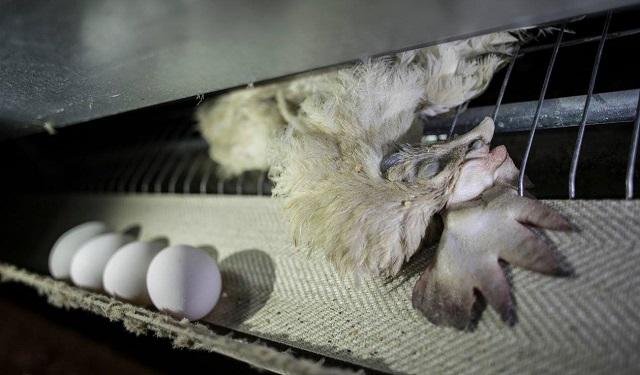 קריאה: ותרו על ביצים - ועל מוצרים מן החי בכלל