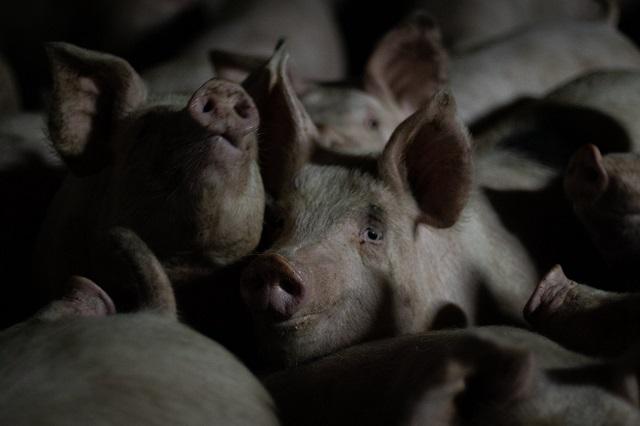 חזיריית קיבוץ להב ממשיכה לעשות כותרות