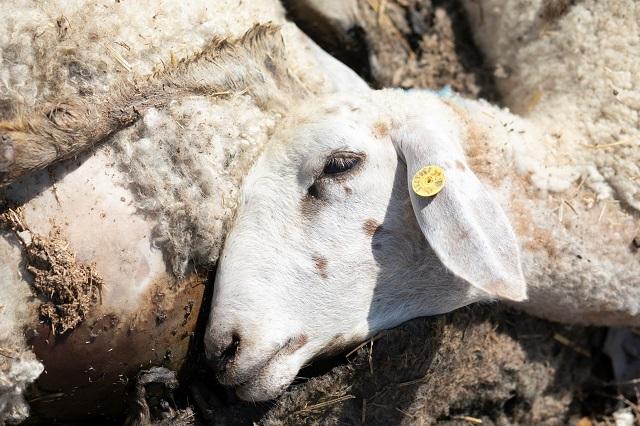 משרד החקלאות ממליץ למכור בשר בעלי חיים חולים