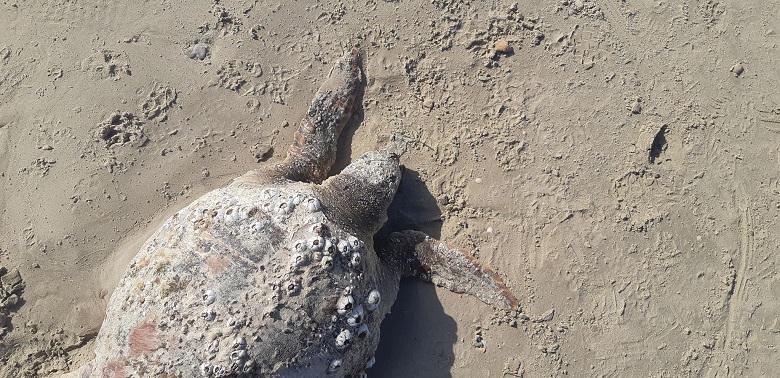 חוף הדייגים חדרה: צב מת תועד כשבפיו חוט דיג