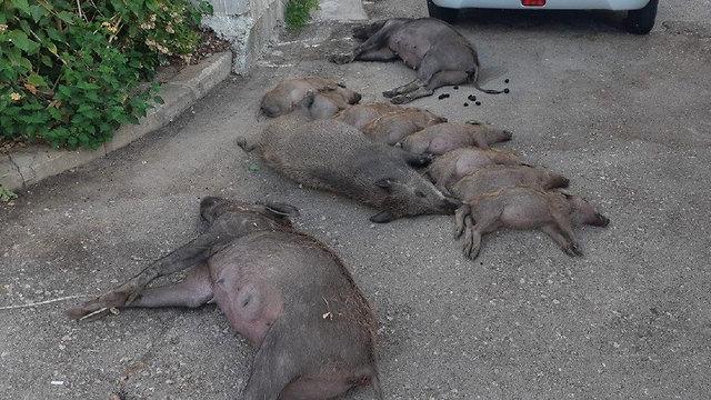 נשר: 11 חזירי בר הורעלו למוות