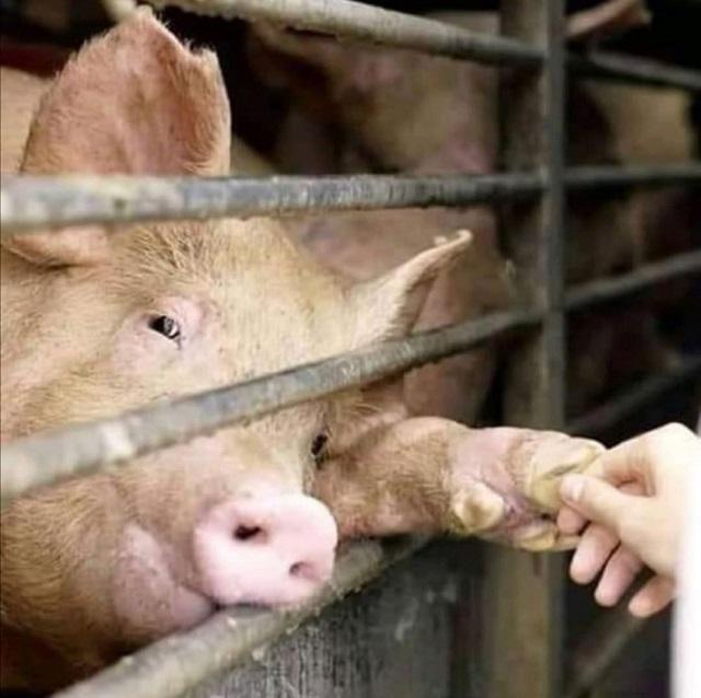 מגע עם חזיר בדרכו לשחיטה