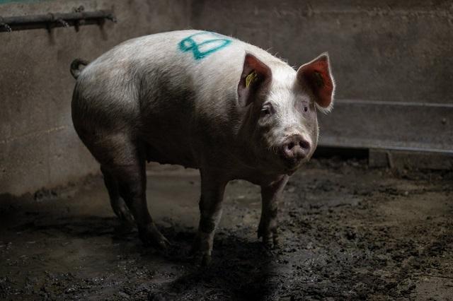 התגלה זן שפעת חדש שעלול להפוך למגפה. המקור: חזירים