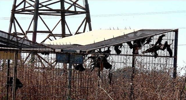 עשרות עורבים נלכדו במשך שעות במלכודת