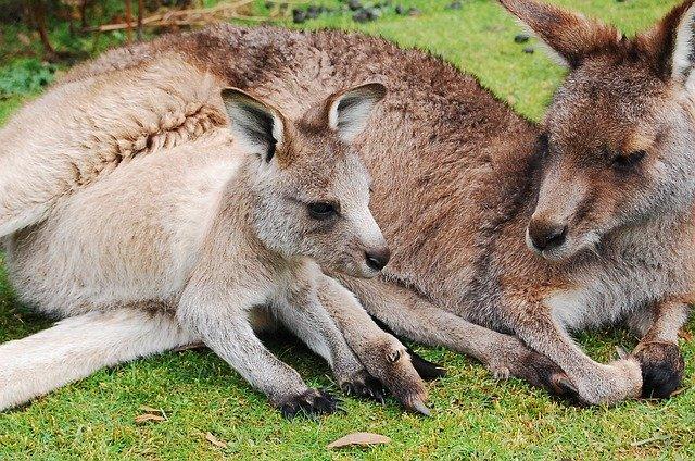 חברה אוסטרלית מפתחת בשר מתורבת מבעלי חיים אקזוטיים כמו קנגרו ואריה