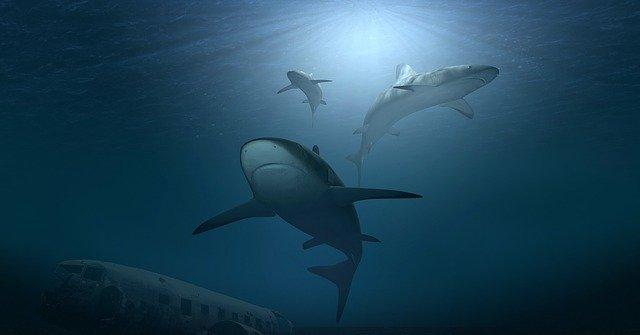 חצי מיליון כרישים עלולים לשלם בחייהם על חיסון לקורונה