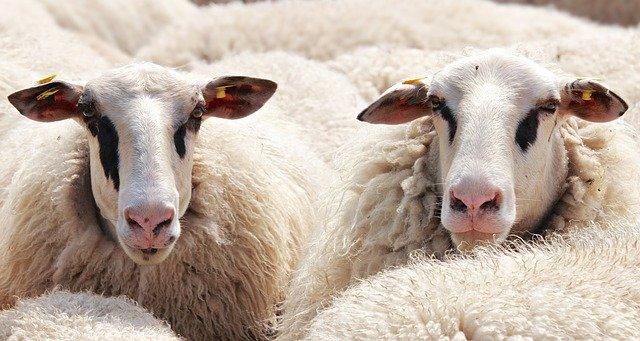 אלפי מגדלי כבשים בבריטניה עלולים לאבד את פרנסתם במקרה של ברקזיט ללא הסכם