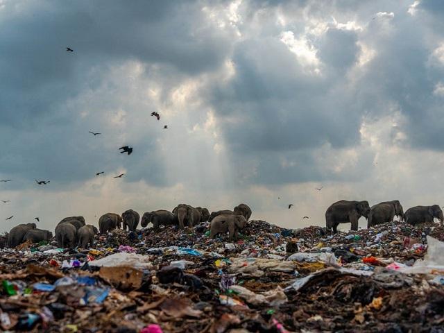 עדר פילים מחפש מזון במזבלה