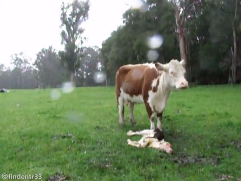 פרה מתאבלת על תינוקה המת