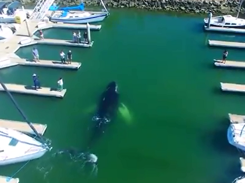 לווייתן גדול סנפיר שוחה בתוך מרינה