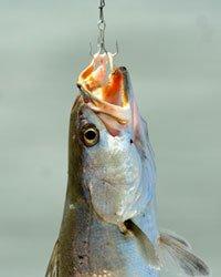 דגים חשים כאב